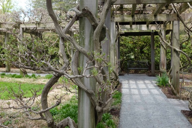 Twining clockwise: invasive Wisteria floribunda. Photo © Elaine Mills