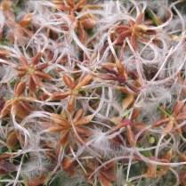 Aggregates of achenes of invasive Clematis terniflora (sweet autumn clematis) in November. Photo © Elaine Mills