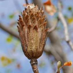 Aggregated winged achenes (samaras) of native Liriodendron tulipifera (tuliptree) in September. Photo © Mary Free