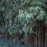 Bamboo in SeptemberPhoto © Elaine Mills