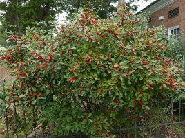 Ilex verticillata 'Red Sprite' in October. Photo © Mary Free
