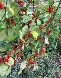 Ilex verticillata 'Sparkleberry' in October. Photo © Elaine Mills