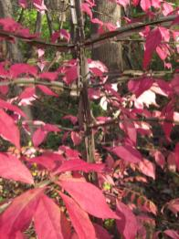 Detail of Burning Bush (Euonymus alatus) branches in November. Photo © Elaine Mills