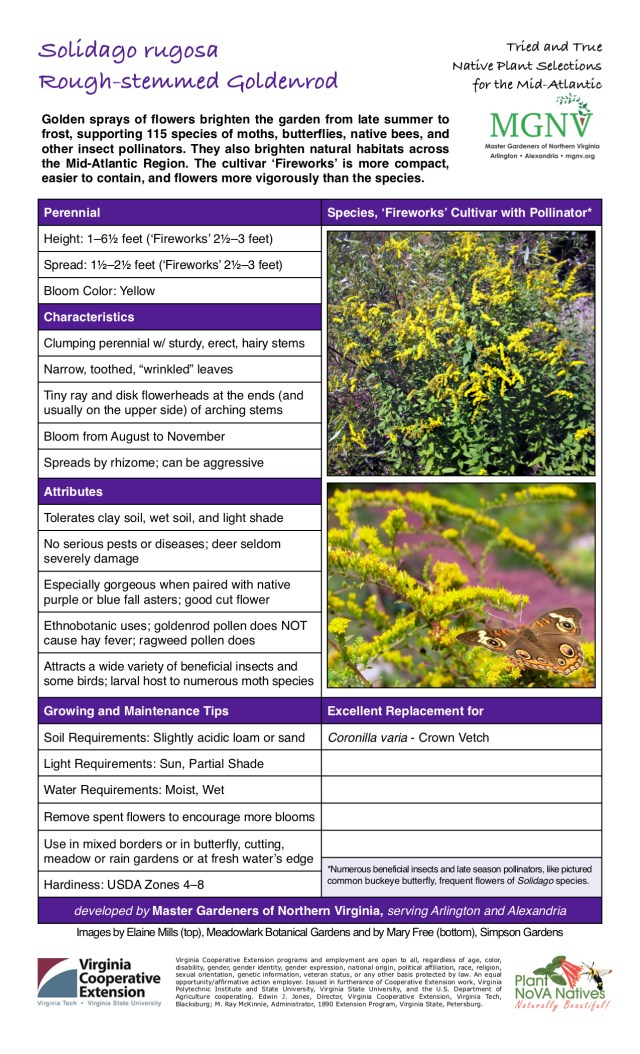 """Solidago rugosa, Rough-Stemmed Goldenrod Perennial Bloom from August to November Height: 1–61⁄2 feet ('Fireworks' 21⁄2–3 feet) Spread: 11⁄2–21⁄2 feet ('Fireworks' 21⁄2–3 feet) Bloom Color: Yellow Characteristics Clumping perennial w/ sturdy, erect, hairy stems Narrow, toothed, """"wrinkled"""" leaves Tiny ray and disk flowerheads at the ends (and usually on the upper side) of arching stems Spreads by rhizome; can be aggressive Attributes Tolerates clay soil, wet soil, and light shade No serious pests or diseases; deer seldom severely damage Especially gorgeous when paired with native purple or blue fall asters; good cut flower Ethnobotanic uses; goldenrod pollen does NOT cause hay fever; ragweed pollen does Attracts a wide variety of beneficial insects and some birds; larval host to numerous moth speciesGrowing and Maintenance Tips Soil Requirements: Slightly acidic loam or sand Light Requirements: Sun, Partial ShadeWater Requirements: Moist, WetRemove spent flowers to encourage more bloomsUse in mixed borders or in butterfly, cutting, meadow or rain gardens or at fresh water's edge *Numerous beneficial insects and late season pollinators, like pictured common buckeye butterfly, frequent flowers of Solidago species. Hardiness: USDA Zones 4–8 Excellent Replacement for Coronilla varia - Crown Vetch"""