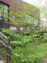 Cornus alternifolia (Pagoda Dogwood) tree in the landscape in Swarthmore, Pennsylvania in May.Photo © Elaine Mills