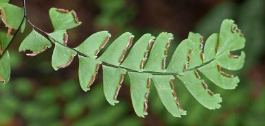 Underside of fertile pinna of Adiantum pedantum (northern maidenhair fern) in September. Photo © Mary Free