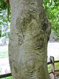 Ilex opaca (American holly) bark October. Photo © Mary Free