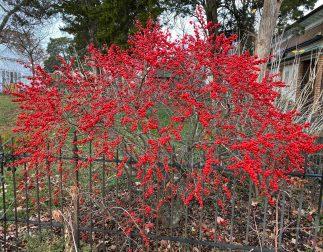 Ilex verticillata 'Red Sprite' in December. Photo © Elaine Mills