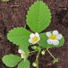 Flowers of native Fragaria virginiana (wild strawberry).Photo © Elaine Mills