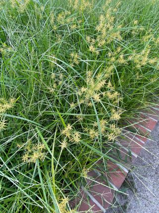 Noxious weed Cyperus esculentes (yellow nutsedge) invading a lawn in September. Photo © Elaine Mills