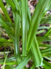 Native Carex blanda (eastern woodland sedge) leaves displaying parallel venation common in many sedges. Photo © Elaine Mills