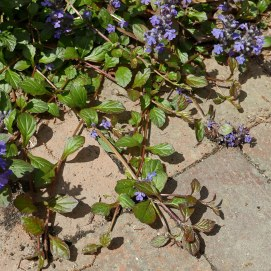 Stolons spread on semi-evergreen, non-native Ajuga reptans (carpet-bugle or creeping bugleweed). Some U.S. jurisdictions identify this plant as invasive, but it is not listed locally. Photo © Mary Free