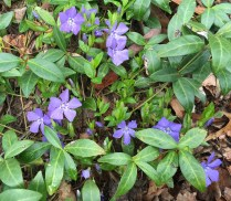 Stolons and flowers of invasive Vinca minor (periwinkle) in April. Photo © Elaine Mills