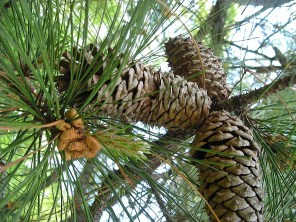 Male and female strobili of Pinus taeda (loblolly pine) in April. Photo © Christa Watters
