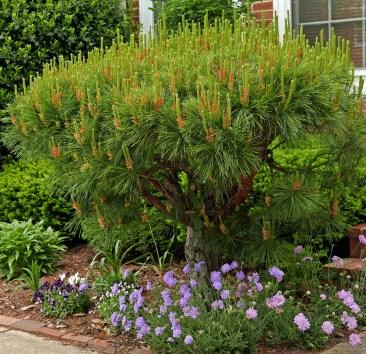 Pollen-laden male strobili of Pinus densiflora 'Umbraculifera' (Tanyosho pine) in May. Photo © Mary Free