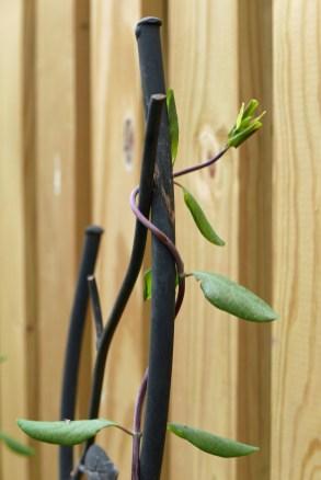 Twining clockwise: native Lonicera sempervirens. Photo © Mary Free