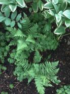 Dryopteris marginalis (marginal wood fern) in landscape in June.Photo © Elaine Mills