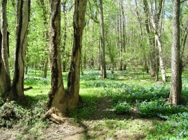 Mertensia virginica (Virginia Bluebells) in the woods at Merrimac Farm WMA in April. Photo © Christa Watters