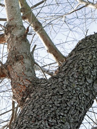 Scaly bark of the mature trunk obscures the horizontal lenticels visible on the young branches of this Prunus serotina (wild black cherry in December. Photo © Mary Free