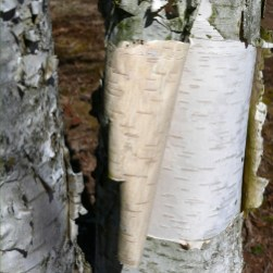 Horizontal lenticels become conspicuous when the bark peels from the trunk of this Betula nigra (river birch) in March. Photo © Mary Free