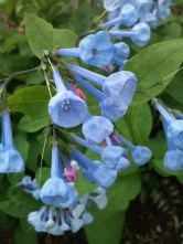 Mertensia virginica (Virginia Bluebells) flowers in April.Photo © Paul Nuhn