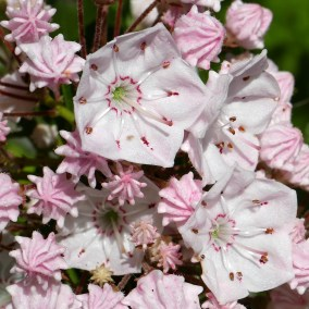A few released anthers are visible in the two open flowers to the right among the buds of Kalmia latifolia (mountain laurel) in June. Photo © Mary Free