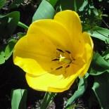 6 stamens in a Tulipa (tulip) flower in April.Photo © Christa Watters