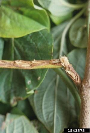 Egg laying damage on twig. Photo: Jim Baker, North Carolina State University