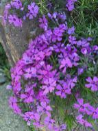 Phlox subulata (Moss Phlox, Moss-pink) in April. Photo © Elaine Mills