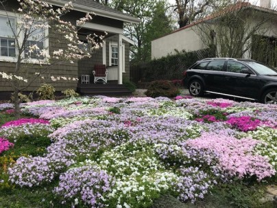 Phlox subulata (Moss Phlox, Moss-pink) in landscape in April. Photo © Tyler Ormsby