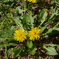 Taraxacum officinale (common dandelion) in late March. Photo © Mary Free