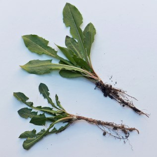 Taraxacum officinale (common dandelion) grubbed with tap roots intact in late March. Photo © Mary Free