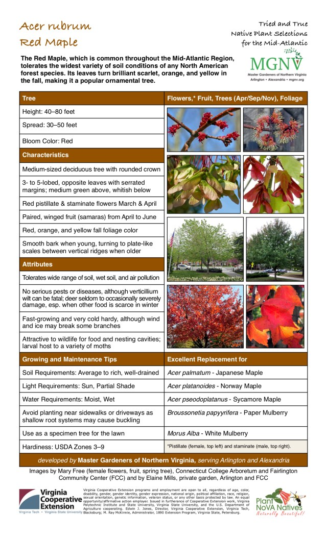 Tree  Height: 40–80 feet Spread: 30–50 feet Bloom Color: Red Characteristics Medium-sized deciduous tree with rounded crown; 3- to 5-lobed, opposite leaves with serrated margins; medium green above, whitish below; Red pistillate & staminate flowers March & April; Paired, winged fruit (samaras) from April to June; Red, orange, and yellow fall foliage color; Smooth bark when young, turning to plate-like; scales between vertical ridges when older  Attributes Tolerates wide range of soil, wet soil, and air pollution; No serious pests or diseases, although verticillium wilt can be fatal; deer seldom to occasionally severely damage, esp. when other food is scarce in winter; Fast-growing and very cold hardy, although wind and ice may break some branches; Attractive to wildlife for food and nesting cavities; larval host to a variety of moths  Growing and Maintenance Tips  Soil Requirements: Average to rich, well-drained  Light Requirements: Sun, Partial Shade  Water Requirements: Moist, Wet  Avoid planting near sidewalks or driveways as shallow root systems may cause buckling Use as a specimen tree for the lawn  Hardiness: USDA Zones 3–9   Excellent Replacement for Acer palmatum - Japanese Maple; Acer platanoides - Norway Maple; Acer pseodoplatanus - Sycamore Maple; Broussonetia papyyrifera - Paper Mulberry; Morus Alba - White Mulberry