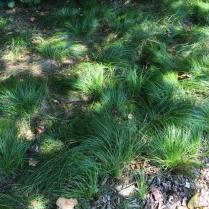 Pennsylvania sedge (Danthonia spicata), lawn replacement in dry shade. Photo © Elaine Mills