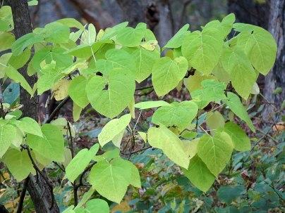 Whorled and opposite leaf arrangements of Catalpa spp. in Rock Creek Park, Washington, DC. Photo © Katja Schulz CC BY 2.0
