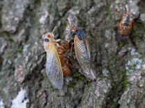 A cicada makes its way up an oak tree trunk at 8:45 a.m., passing one struggling to molt. The latter was unsuccessful as it had damaged its soft left wing and could not free it. Its body hardened, trapped inside the exoskeleton.Photo © Mary Free