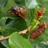 Brood X cicada and a shed exoskeleton on a shrub rose on May 25, 2021. Photo © Mary Free