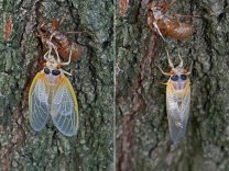 These pictures were taken an hour and twenty minutes apart. By 8:12 a.m. the cicada's body had turned a light gray and wings had fully expanded and soon after, it started its climb up the trunk of a large oak tree. Photo © Mary Free