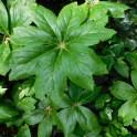 Vegetative leaves of Podophyllum peltatum (mayapple) are single-stemmed and peltate. Photo © Christa Watters