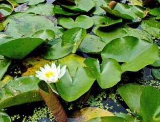 A flower blooms among the peltate leaves of native Nymphaea odorata (white water-lily) at Green Spring Gardens in Alexandria, Virginia in July. Photo © Mary Free