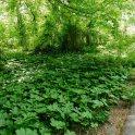 The umbrella-shaped (peltate) leaves of Podophyllum peltatum (mayapple) en masse along the Mount Vernon Trail in Alexandria, Virginia in May. Photo © Christa Watters