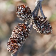 The cone-like clusters of scales of Alnus serrulata (common alder) persist in December.Photo © Mary Free