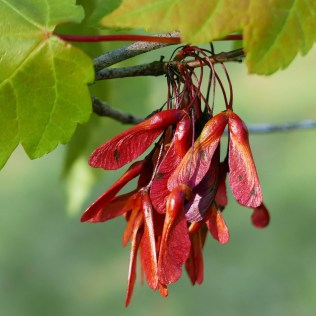 Paired samaras of Acer rubrum (red maple) in April. Photo © Mary Free