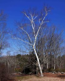 Betula papyrifera (white birch) at the Connectiicut College Arboretum in April.Photo © Mary Free