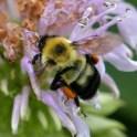 Bombus bimaculatus (two-spotted bumble bee) on Monarda fistulosa in June. Photo © Mary Free
