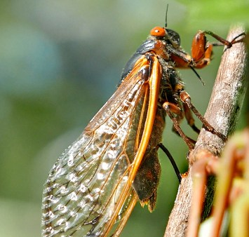 This Brood X cicada is depositing eggs in the slit in a small branch of native Acer rubrum (red maple) on May 31, 2021. Photo © Mary Free