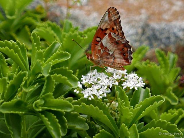 Variegated fritillary butterfly on Sedum album flower