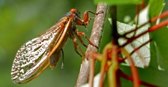 This Brood X cicada has just removed her ovipositor shaft from the egg nest she created in the branch of a young Acer rubrum (red maple) on May 31, 2021. Photo © Mary Free