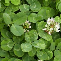 Palmately trifoliate leaves of Trifolium repens (white clover) in May. Photo © Mary Free