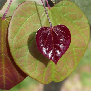 Palmate venation of Cercis canadensis (eastern redbud) cultivar leaves in June. Photo © Mary Free